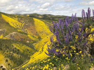 Purple bush lupine in front of a hillside covered with orange and yellow flowers at Carrizo Plain